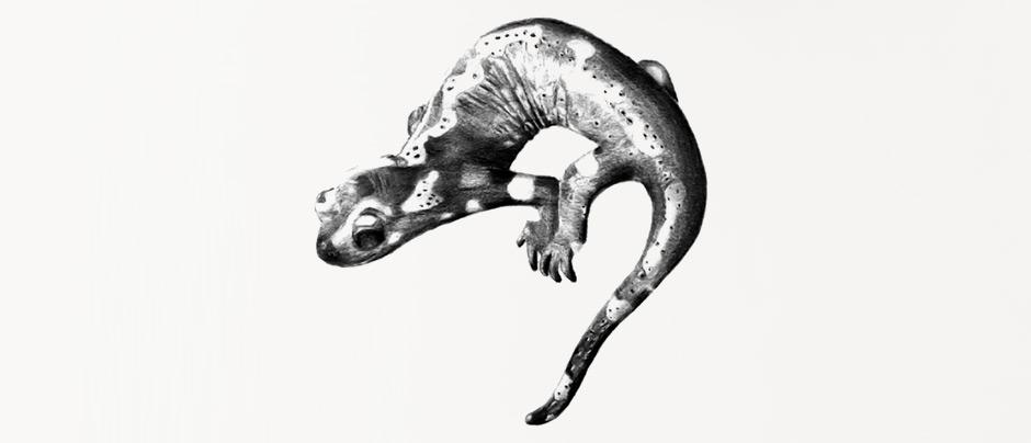 Dessin Gecko